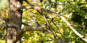 Nice tree with woodpecker